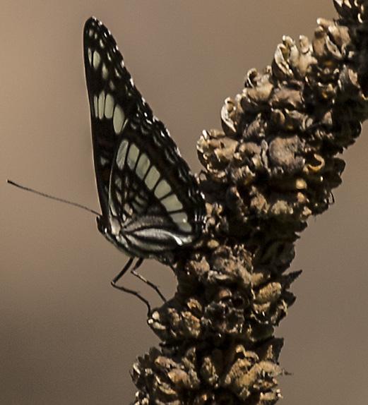 black-white-butterflly-branch