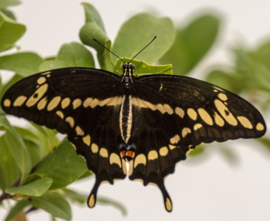 great-swallowtail