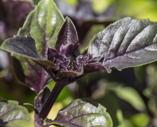 purple-basil