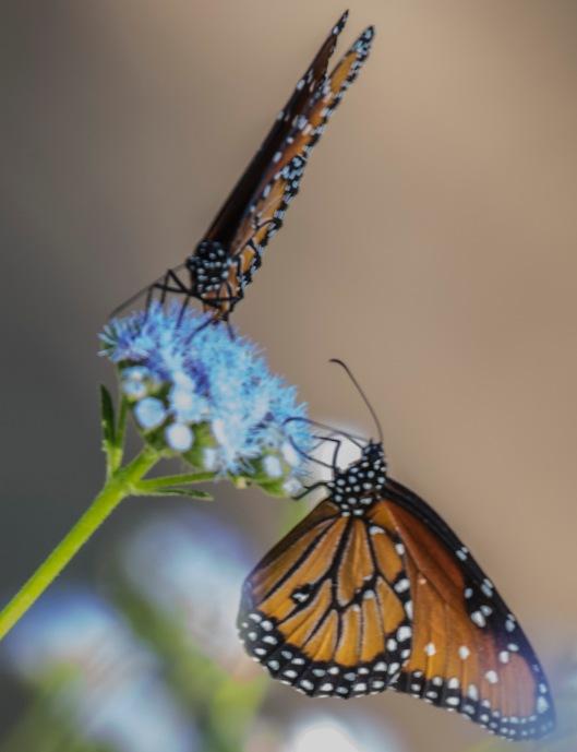 butterflys-2