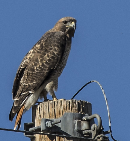 red-tail-hawk2