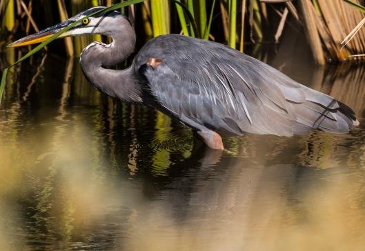 heron-wading