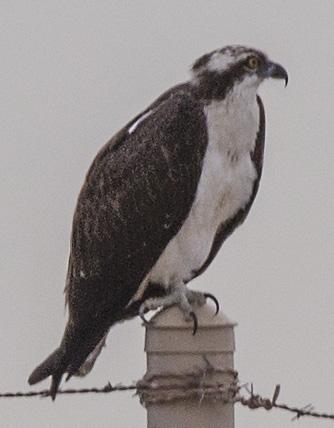 osprey-pole