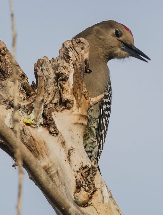 gila-woodpecker3